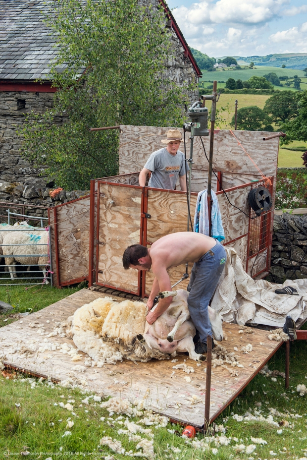WEB Sheep Sheering 02.jpg